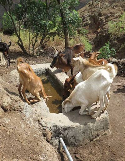 image of livestock at a well
